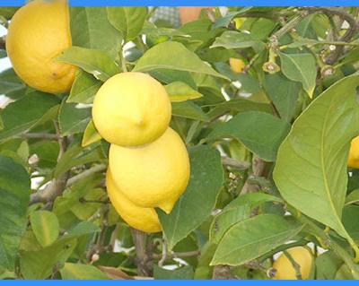 formation aromathérapie citron