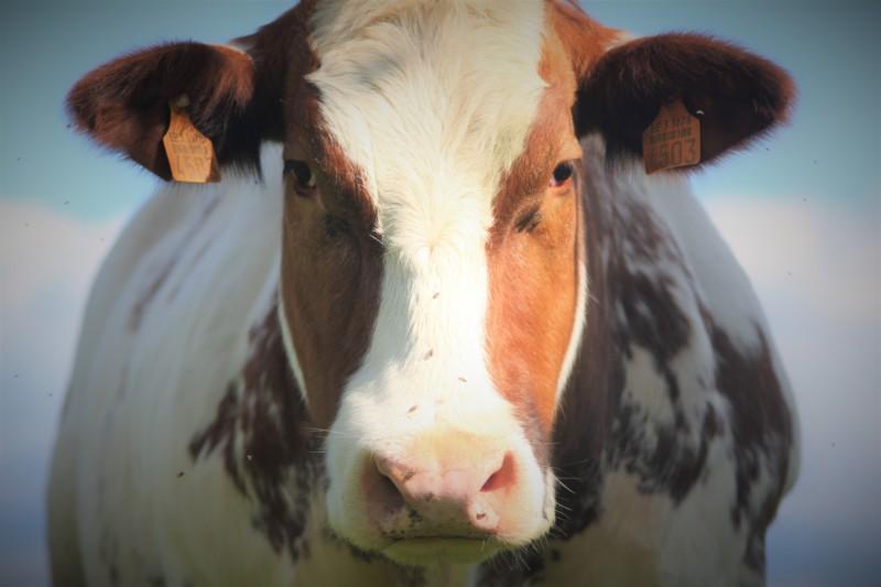 Les vaches adorent le chant et la musique